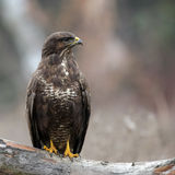 Common Buzzard buteo buteo royalty free stock photography