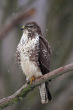 Common Buzzard (Buteo buteo) Stock Photo