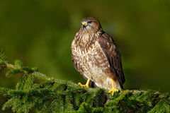 Common Buzzard, Buteo buteo, sitting on coniferous spruce tree branch. Bird hidden in the tree in dark forest. Wildlife scene from Stock Images