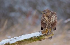 The Common Buzzard - Buteo buteo. In the snow at winter time Royalty Free Stock Photography