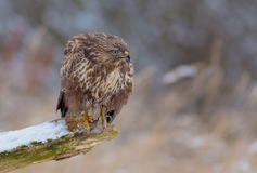 The Common Buzzard - Buteo buteo. In the snow at winter time Stock Images