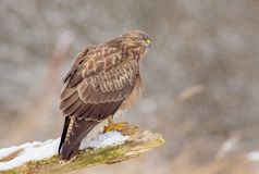 The Common Buzzard - Buteo buteo. In the snow at winter time Stock Photography