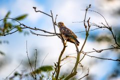 Common buzzard or Buteo buteo on tree branch Royalty Free Stock Image