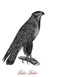 The common buzzard Buteo buteo,vintage engraving. The common buzzard Buteo buteo is a medium-to-large bird of prey whose range covers most of Europe and extends Stock Photo