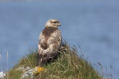 Common buzzard, Buteo buteo Royalty Free Stock Image