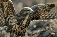 Common Buzzard (Buteo Buteo) Royalty Free Stock Photography
