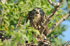 Common Buzzard (Buteo Buteo). This young buzzard is sitting in the nest Stock Photo