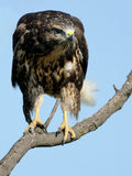 Common Buzzard (Buteo Buteo). This young buzzard is sitting on a tree Royalty Free Stock Images