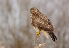The Common Buzzard - Buteo buteo. In the snow at winter time Royalty Free Stock Images