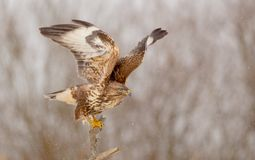 The Common Buzzard - Buteo buteo. In the snow at winter time Royalty Free Stock Image