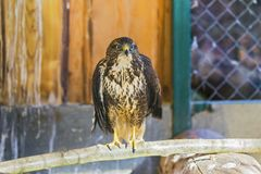 Common buzzard buteo buteo. At the zoo Royalty Free Stock Photos