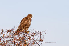 Common Buzzard Calling Royalty Free Stock Photos