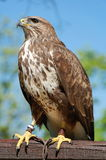 Common Buzzard Captured. Common buzzard on a wood and captured stock image