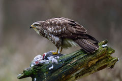 Common buzzard Stock Photos