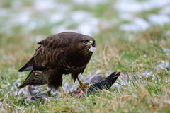 Common buzzard with catch. Common buzzard with woodpigeon catch, buteo buteo, germany Royalty Free Stock Images