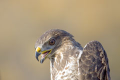 Common Buzzard Close-Up Stock Photo