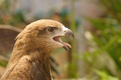 A common buzzard Stock Photos