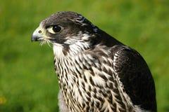 Common Buzzard. The detail of common buzzard Stock Photo