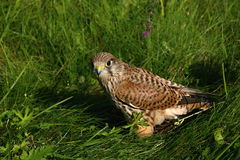 Common Buzzard. The detail of common buzzard Stock Photography