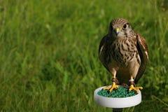 Common Buzzard. The detail of common buzzard Royalty Free Stock Photos