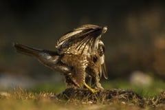 Common buzzard. Eating a rabbit Stock Photo