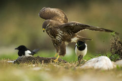 Common buzzard eating a rabbit. Surrounded by magpies Stock Photography
