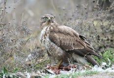 Common buzzard eats a prey. Royalty Free Stock Photo