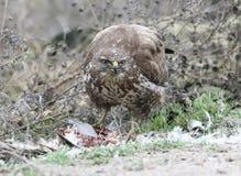 Common buzzard eats a prey. Stock Images