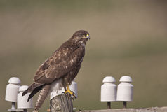 Common Buzzard on An Electric Post. A common buzzard is perching on an electric post royalty free stock photography