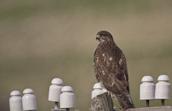 Common Buzzard on An Electric Post. A common buzzard is perching on an electric post Stock Images