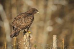 Common buzzard on the fence Stock Photos