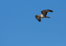 Common Buzzard in flight Stock Images