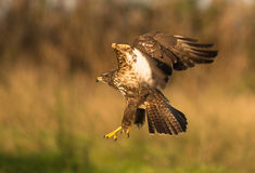 Common Buzzard on flight Stock Image
