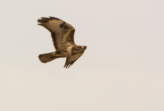 Common Buzzard in flight Stock Photos