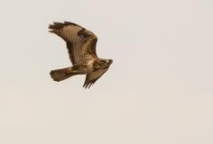 Common Buzzard in flight Stock Photos