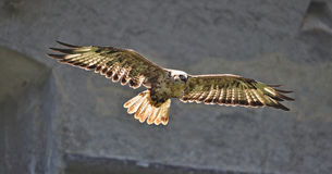 Common buzzard in flight with wings spread, backlighted by sunlight Stock Photography