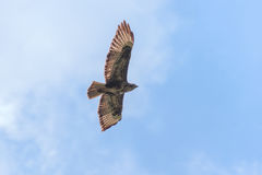 Common buzzard flying Royalty Free Stock Photography
