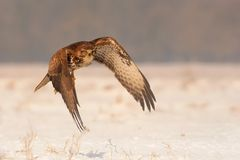 Common Buzzard flying over the snow-covered lanscape. Royalty Free Stock Photos