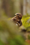 Common Buzzard in green nature Royalty Free Stock Photo
