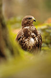 Common Buzzard in green nature Stock Images