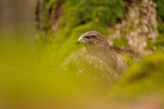 Common Buzzard in green nature Royalty Free Stock Photos