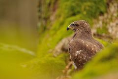 Common Buzzard in green nature Stock Photos