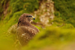 Common Buzzard in green nature Royalty Free Stock Image