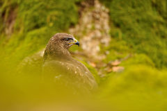 Common Buzzard in green nature Royalty Free Stock Images