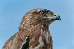Common Buzzard Head close-up Stock Photography