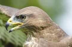 Common buzzard head-shot. Portrait close up  of beautiful common buzzard head-shot Royalty Free Stock Images