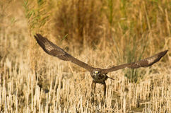 A Common Buzzard leaving the ground Royalty Free Stock Images