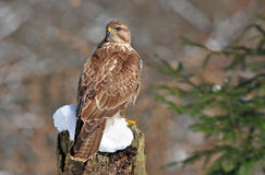 Common buzzard Stock Images