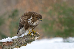 Common buzzard royalty free stock images
