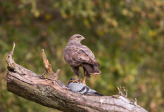Common Buzzard with pigeon Stock Images